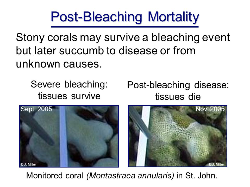 Post-Bleaching Mortality Stony corals may survive a bleaching event but later succumb to disease or from unknown causes.