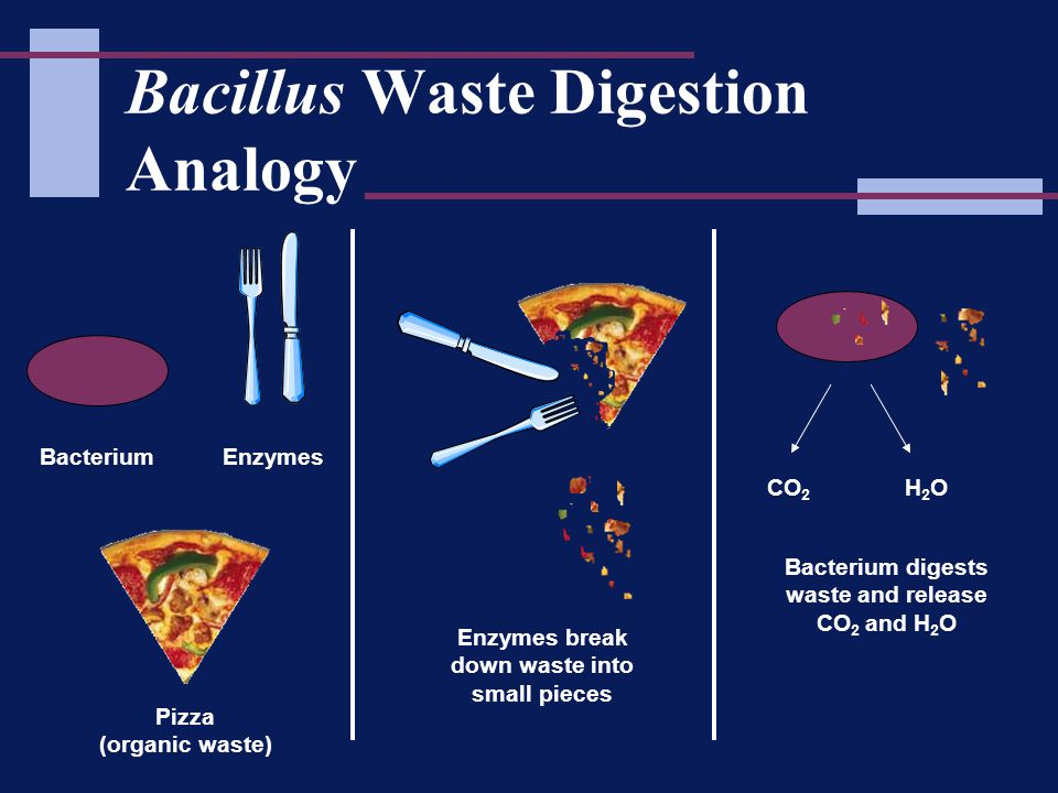 Bacillus Waste Digestion Analogy BacteriumEnzymes Enzymes break down waste into small pieces CO 2 H2OH2O Bacterium digests waste and release CO 2 and H 2 O Pizza (organic waste)