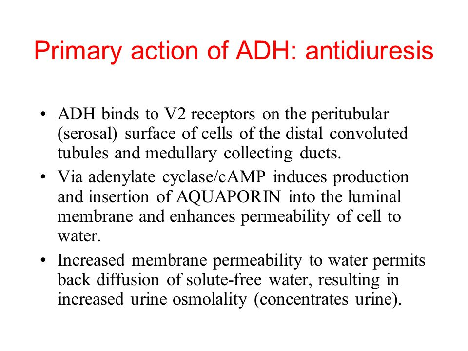 Primary action of ADH: antidiuresis ADH binds to V2 receptors on the peritubular (serosal) surface of cells of the distal convoluted tubules and medullary collecting ducts.