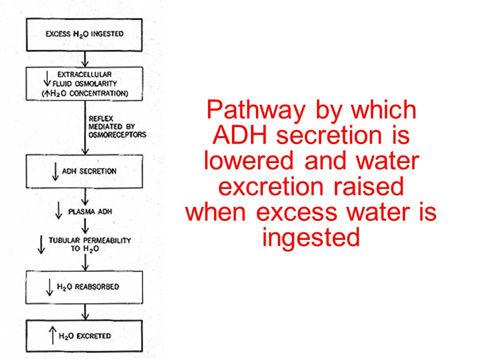 Pathway by which ADH secretion is lowered and water excretion raised when excess water is ingested