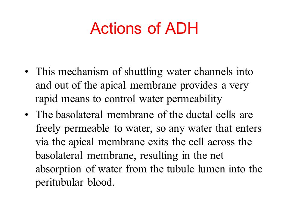 Actions of ADH This mechanism of shuttling water channels into and out of the apical membrane provides a very rapid means to control water permeability The basolateral membrane of the ductal cells are freely permeable to water, so any water that enters via the apical membrane exits the cell across the basolateral membrane, resulting in the net absorption of water from the tubule lumen into the peritubular blood.