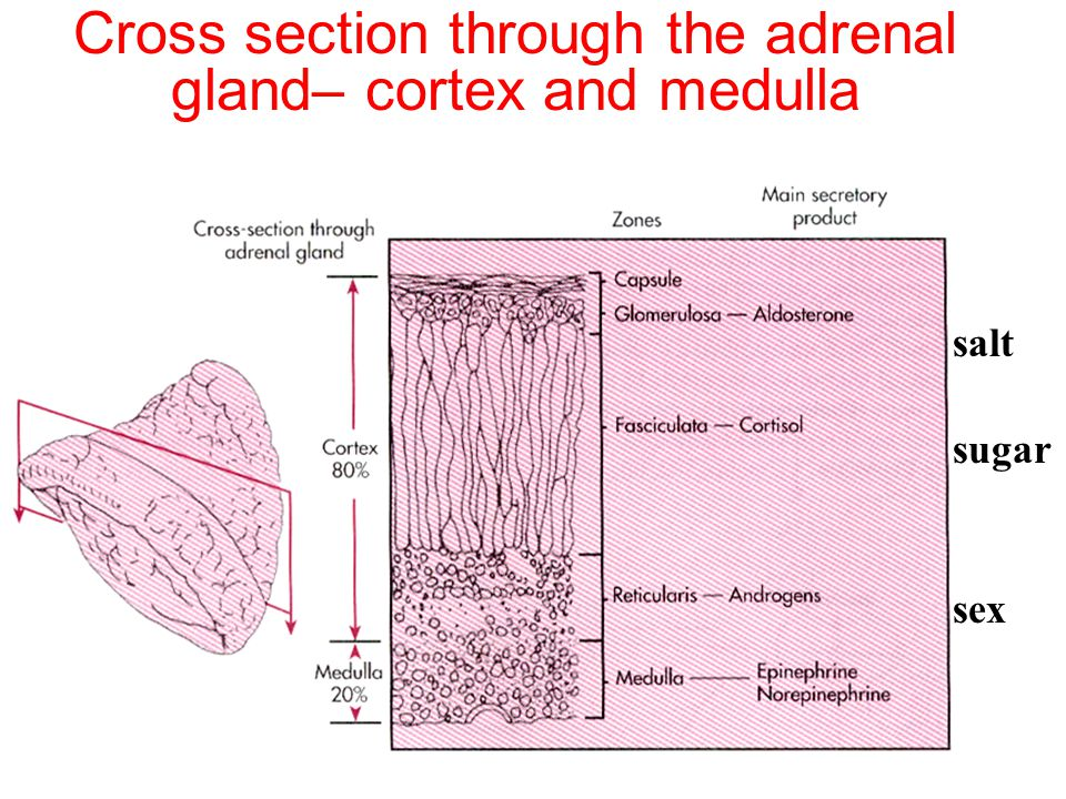 Cross section through the adrenal gland– cortex and medulla salt sugar sex