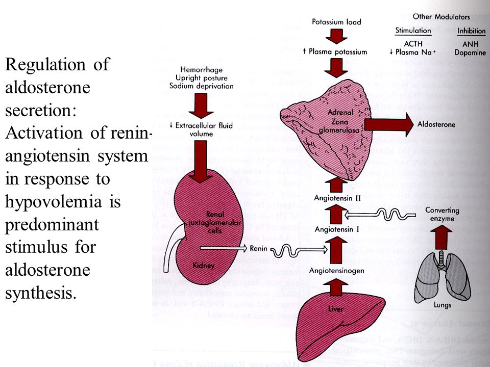 Regulation of aldosterone secretion: Activation of renin- angiotensin system in response to hypovolemia is predominant stimulus for aldosterone synthesis.