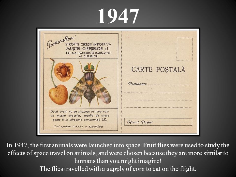 1947 In 1947, the first animals were launched into space. Fruit flies were used to study the effects of space travel on animals, and were chosen becau