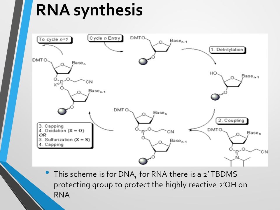 RNA synthesis This scheme is for DNA, for RNA there is a 2' TBDMS protecting group to protect the highly reactive 2'OH on RNA