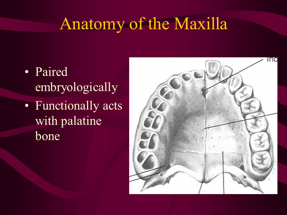Anatomy of the Maxilla Paired embryologically Functionally acts with palatine bone