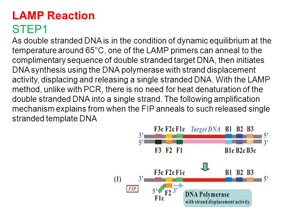 LAMP Reaction STEP1 As double stranded DNA is in the condition of dynamic equilibrium at the temperature around 65°C, one of the LAMP primers can anneal to the complimentary sequence of double stranded target DNA, then initiates DNA synthesis using the DNA polymerase with strand displacement activity, displacing and releasing a single stranded DNA.