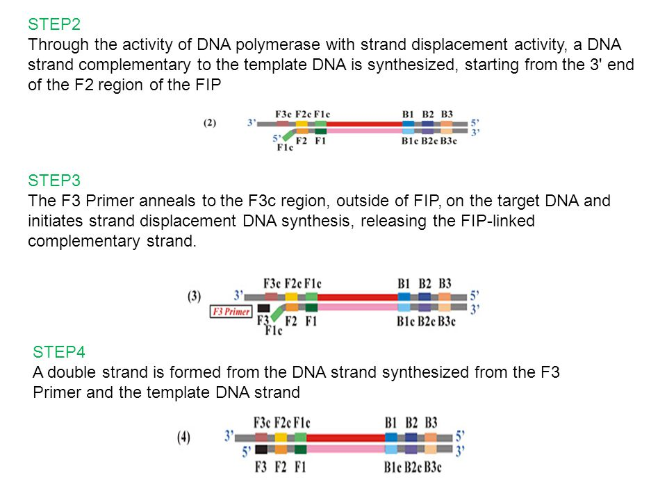 STEP2 Through the activity of DNA polymerase with strand displacement activity, a DNA strand complementary to the template DNA is synthesized, starting from the 3 end of the F2 region of the FIP STEP3 The F3 Primer anneals to the F3c region, outside of FIP, on the target DNA and initiates strand displacement DNA synthesis, releasing the FIP-linked complementary strand.