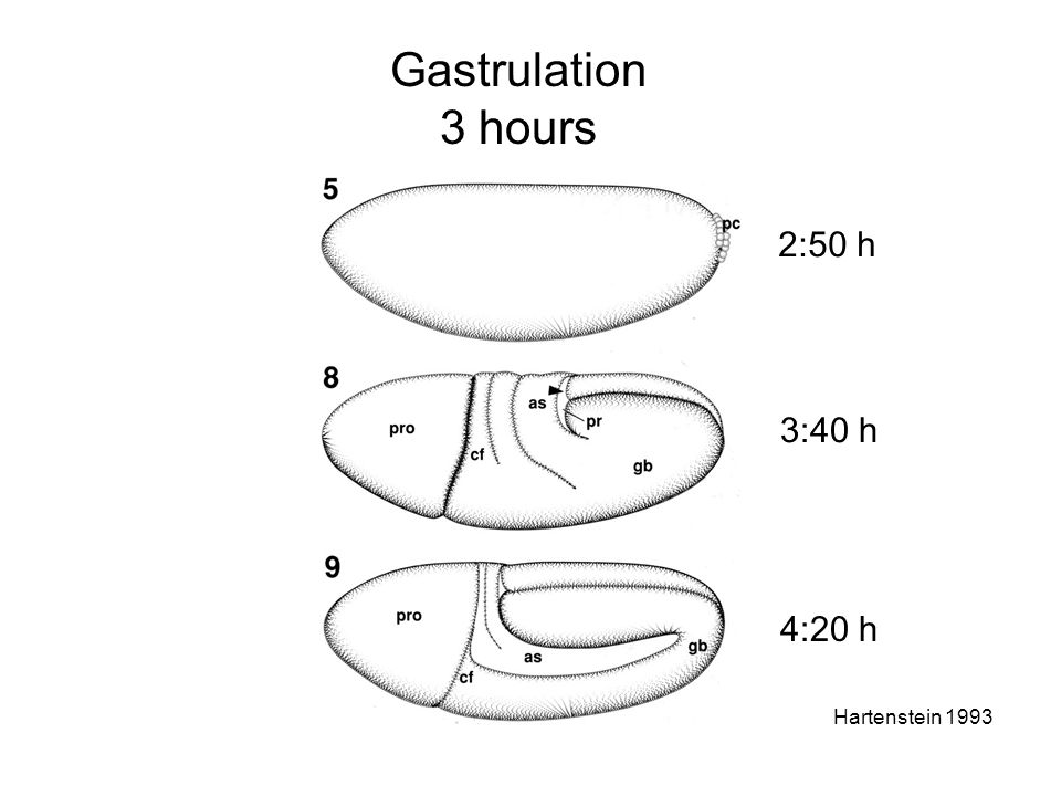 Gastrulation 3 hours Hartenstein 1993 2:50 h 3:40 h 4:20 h