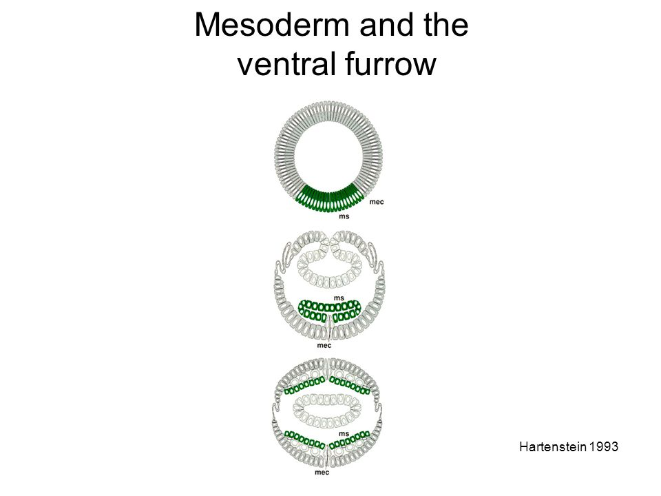 Mesoderm and the ventral furrow Hartenstein 1993