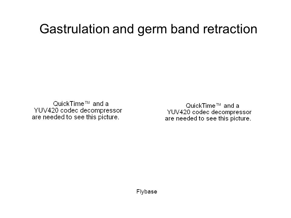 Gastrulation and germ band retraction Flybase
