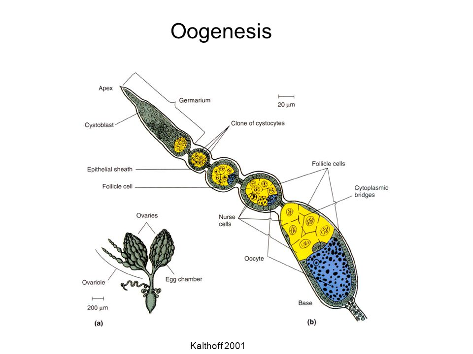 Oogenesis Kalthoff 2001