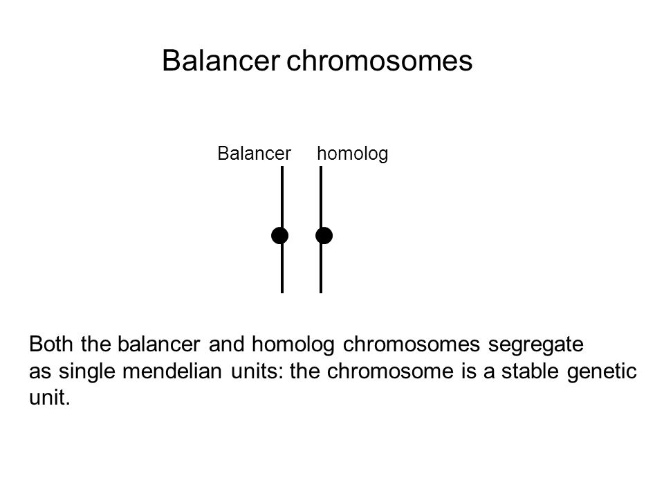 Balancer chromosomes Balancerhomolog Both the balancer and homolog chromosomes segregate as single mendelian units: the chromosome is a stable genetic