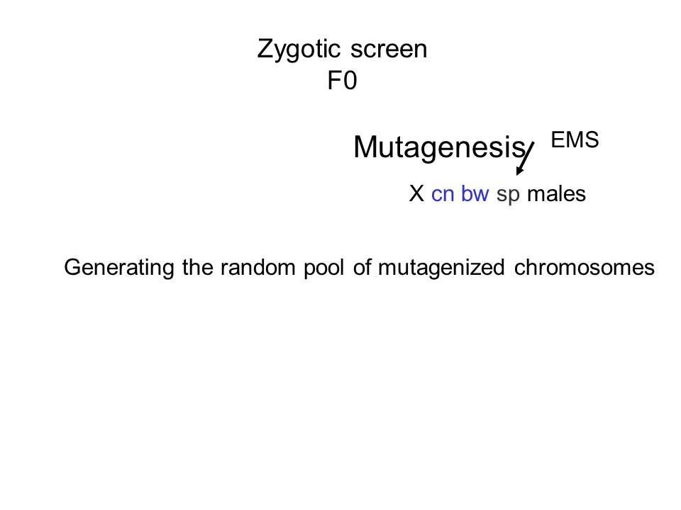 Zygotic screen F0 X cn bw sp males EMS Mutagenesis Generating the random pool of mutagenized chromosomes