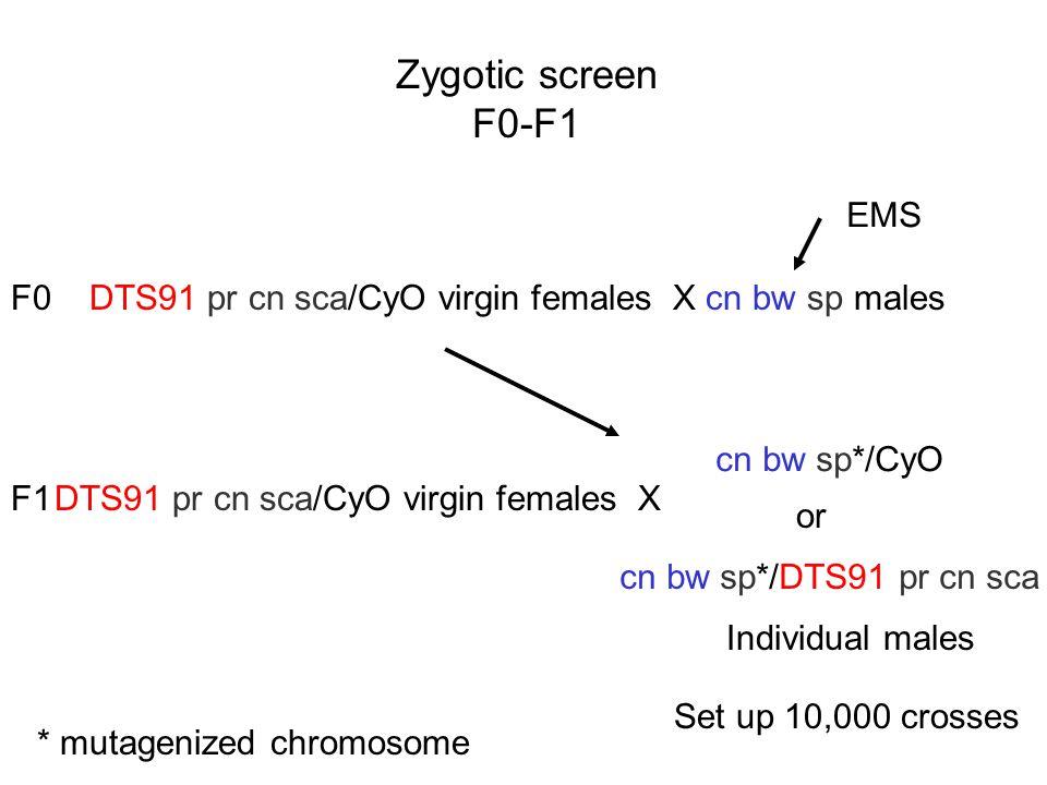 Zygotic screen F0-F1 DTS91 pr cn sca/CyO virgin females X cn bw sp males EMS F0 DTS91 pr cn sca/CyO virgin females X cn bw sp*/CyO cn bw sp*/DTS91 pr cn sca or Individual males * mutagenized chromosome Set up 10,000 crosses F1