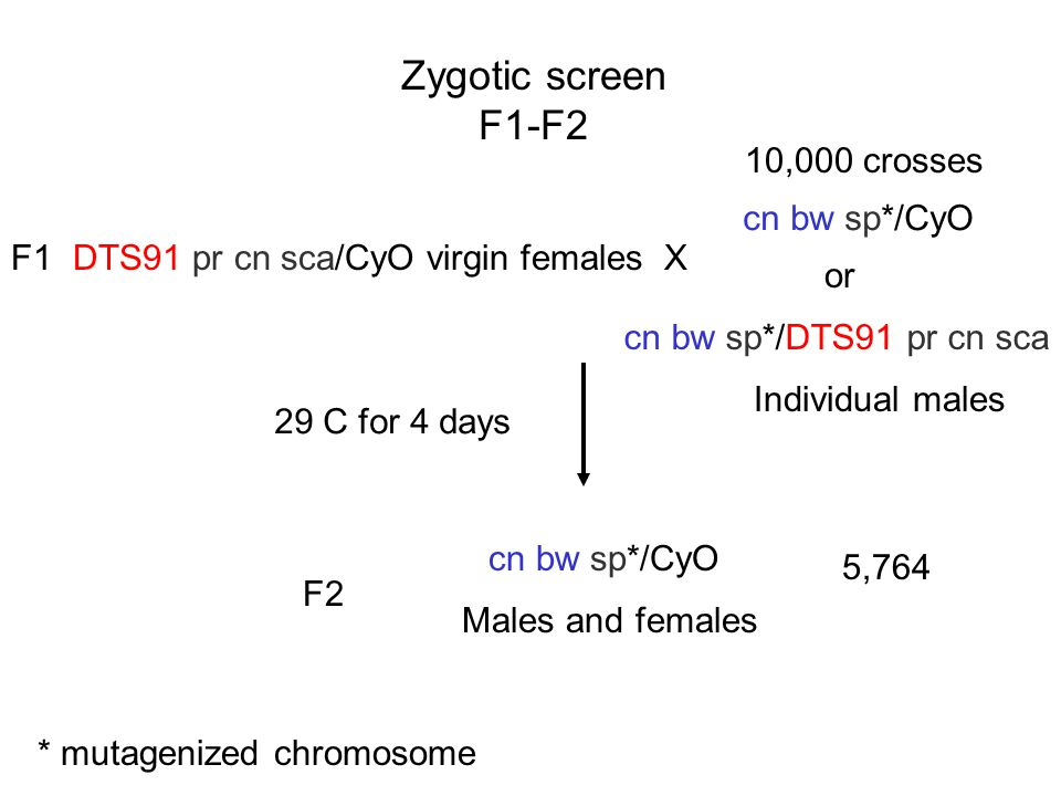 Zygotic screen F1-F2 DTS91 pr cn sca/CyO virgin females X cn bw sp*/CyO cn bw sp*/DTS91 pr cn sca or Individual males * mutagenized chromosome 10,000