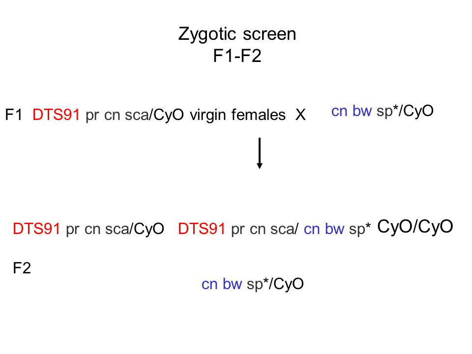 Zygotic screen F1-F2 DTS91 pr cn sca/CyO virgin females X cn bw sp*/CyO F1 cn bw sp*/CyO F2 DTS91 pr cn sca/CyO CyO/CyO DTS91 pr cn sca/ cn bw sp*