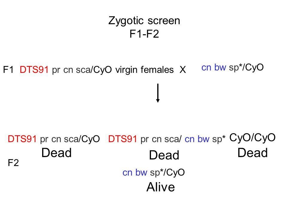 Zygotic screen F1-F2 DTS91 pr cn sca/CyO virgin females X cn bw sp*/CyO F1 cn bw sp*/CyO F2 DTS91 pr cn sca/CyO CyO/CyO DTS91 pr cn sca/ cn bw sp* Dead Alive
