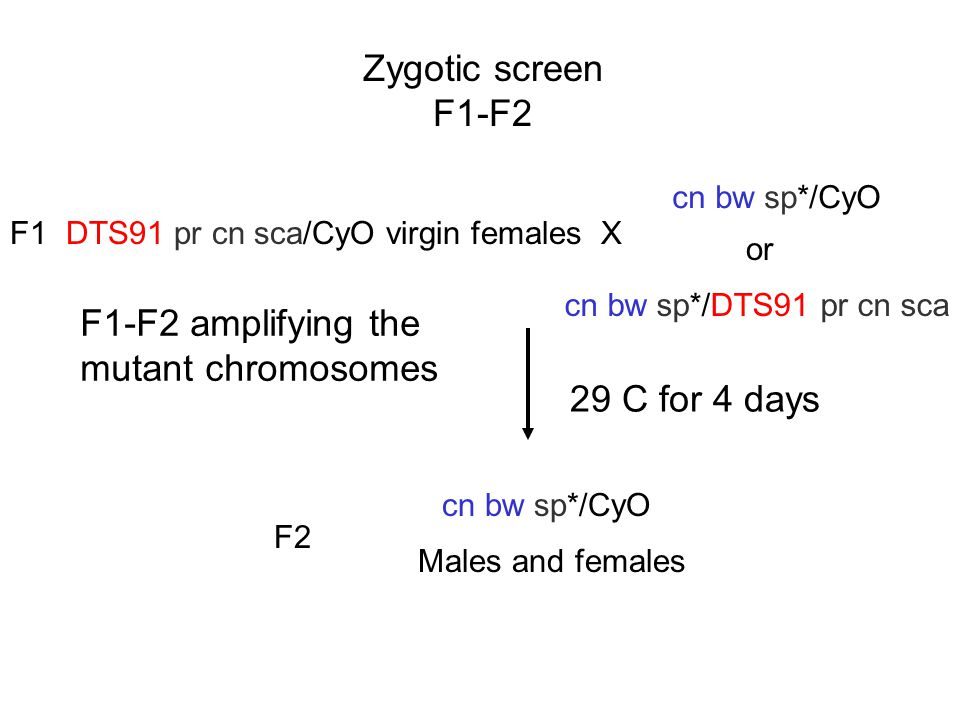 Zygotic screen F1-F2 DTS91 pr cn sca/CyO virgin females X cn bw sp*/CyO cn bw sp*/DTS91 pr cn sca or F1 29 C for 4 days cn bw sp*/CyO Males and female