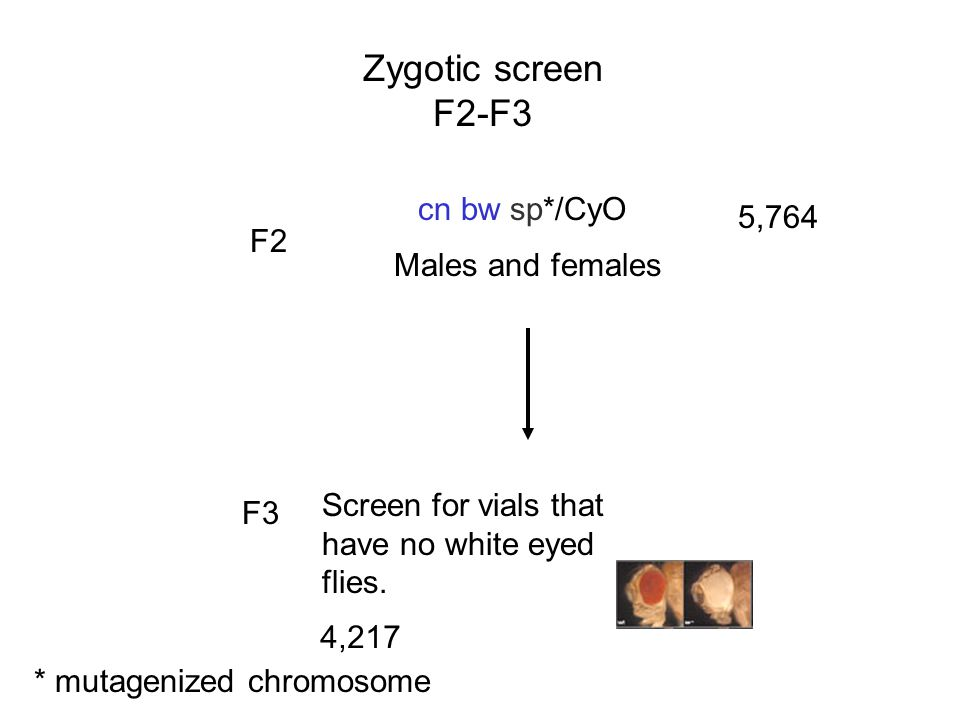 Zygotic screen F2-F3 * mutagenized chromosome cn bw sp*/CyO Males and females F2 5,764 F3 Screen for vials that have no white eyed flies. 4,217