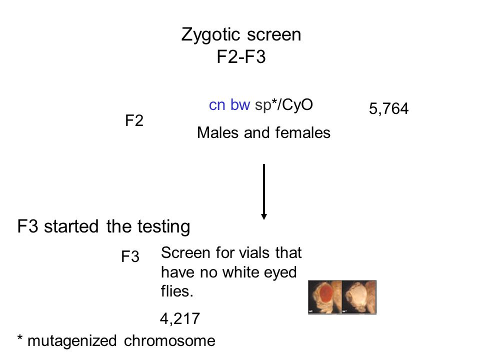 Zygotic screen F2-F3 * mutagenized chromosome cn bw sp*/CyO Males and females F2 5,764 F3 Screen for vials that have no white eyed flies. 4,217 F3 sta