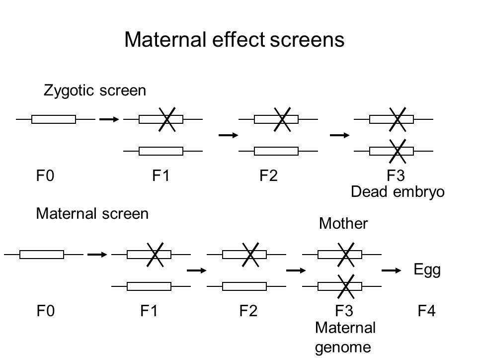 Maternal effect screens F0F1F2F3 F0F1F2F3 Egg Maternal genome F4 Zygotic screen Maternal screen Mother Dead embryo