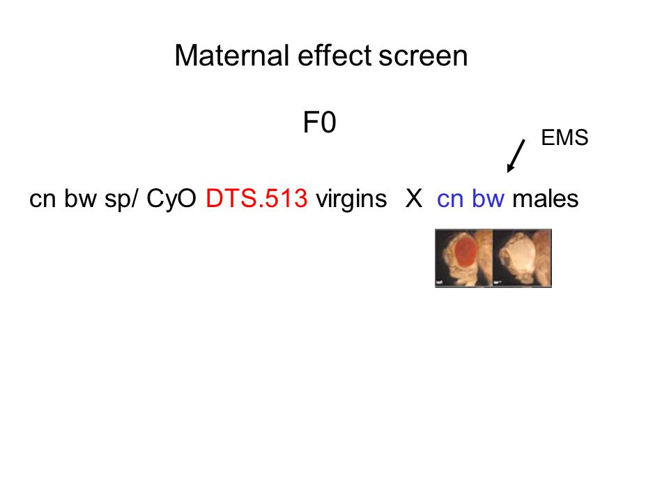Maternal effect screen cn bw sp/ CyO DTS.513 virgins X cn bw males EMS F0