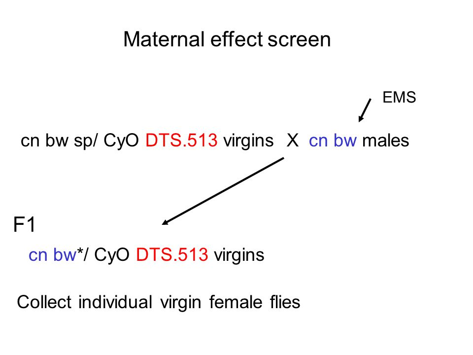 Maternal effect screen cn bw sp/ CyO DTS.513 virgins X cn bw males EMS F1 cn bw*/ CyO DTS.513 virgins Collect individual virgin female flies