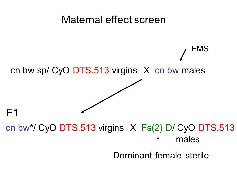 Maternal effect screen cn bw sp/ CyO DTS.513 virgins X cn bw males EMS F1 cn bw*/ CyO DTS.513 virgins X Fs(2) D/ CyO DTS.513 Dominant female sterile males