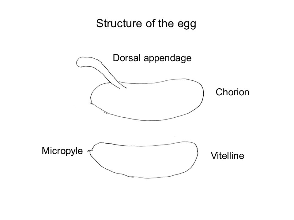 Structure of the egg Dorsal appendage Chorion Vitelline Micropyle