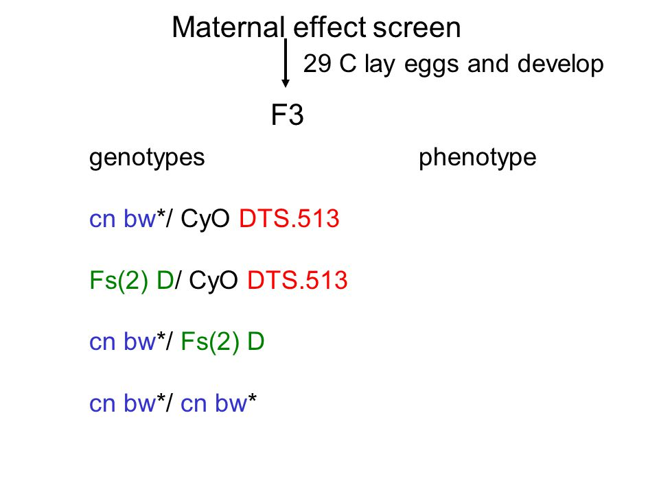 Maternal effect screen F3 29 C lay eggs and develop genotypes phenotype cn bw*/ CyO DTS.513 Fs(2) D/ CyO DTS.513 cn bw*/ Fs(2) D cn bw*/ cn bw*