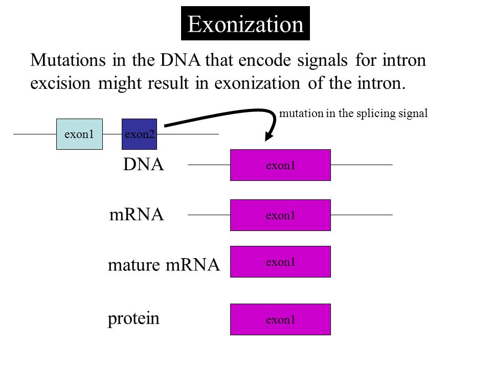 Exonization Mutations in the DNA that encode signals for intron excision might result in exonization of the intron.