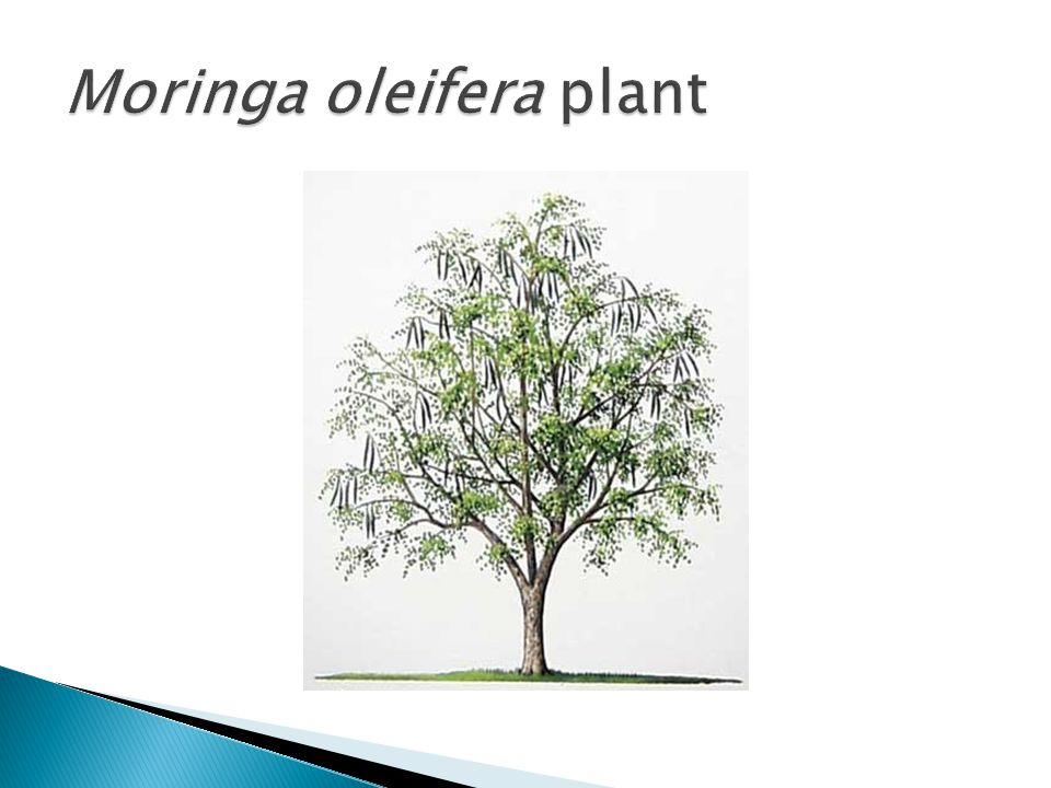  Moringa oleifera leaves are rich in a number of nutrients.