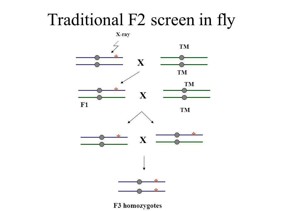 Traditional F2 screen in fly X-ray X TM * * X F1 * * X * * F3 homozygotes