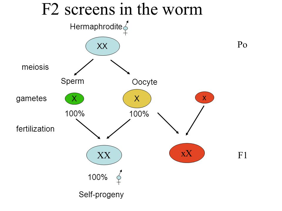 F2 screens in the worm Sperm Oocyte gametes X X 100% XX 100% Self-progeny XX meiosis Hermaphrodite fertilization x xX Po F1