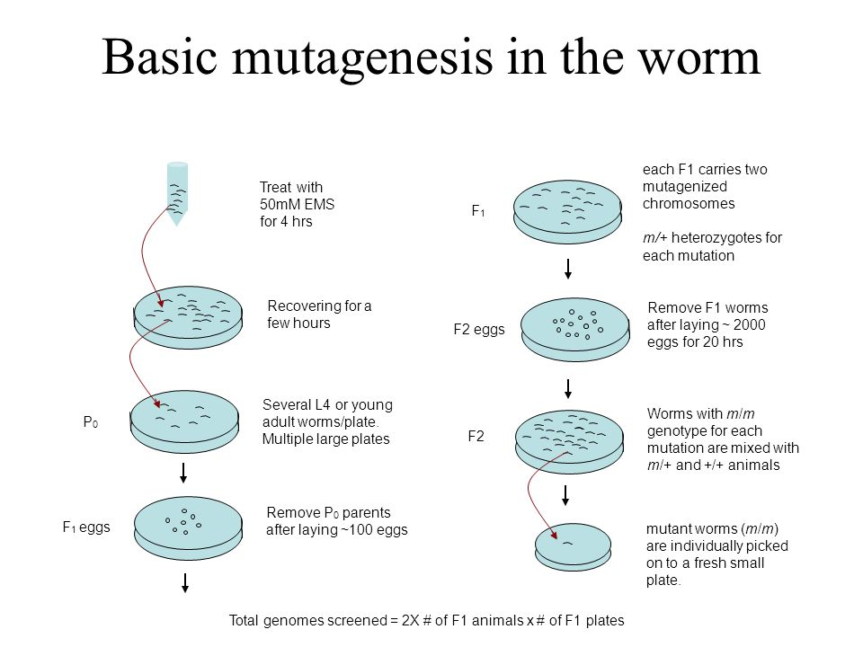Basic mutagenesis in the worm Treat with 50mM EMS for 4 hrs Several L4 or young adult worms/plate.