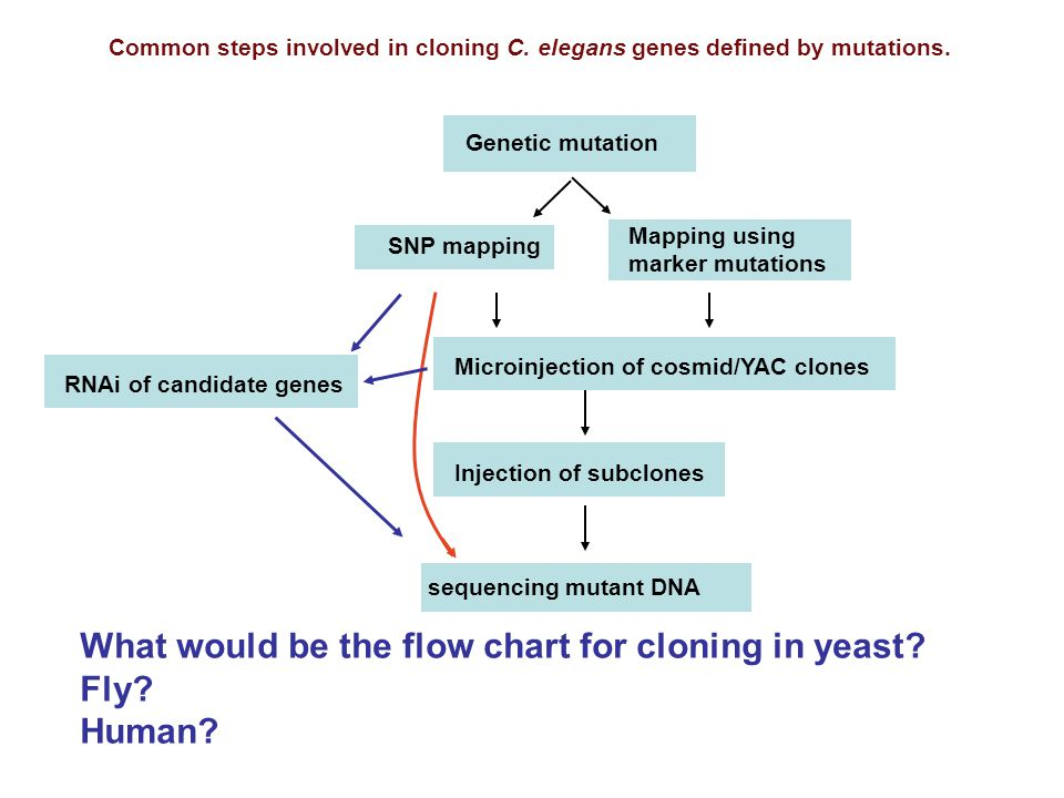 Genetic mutation Injection of subclones sequencing mutant DNA Mapping using marker mutations SNP mapping RNAi of candidate genes Microinjection of cosmid/YAC clones Common steps involved in cloning C.