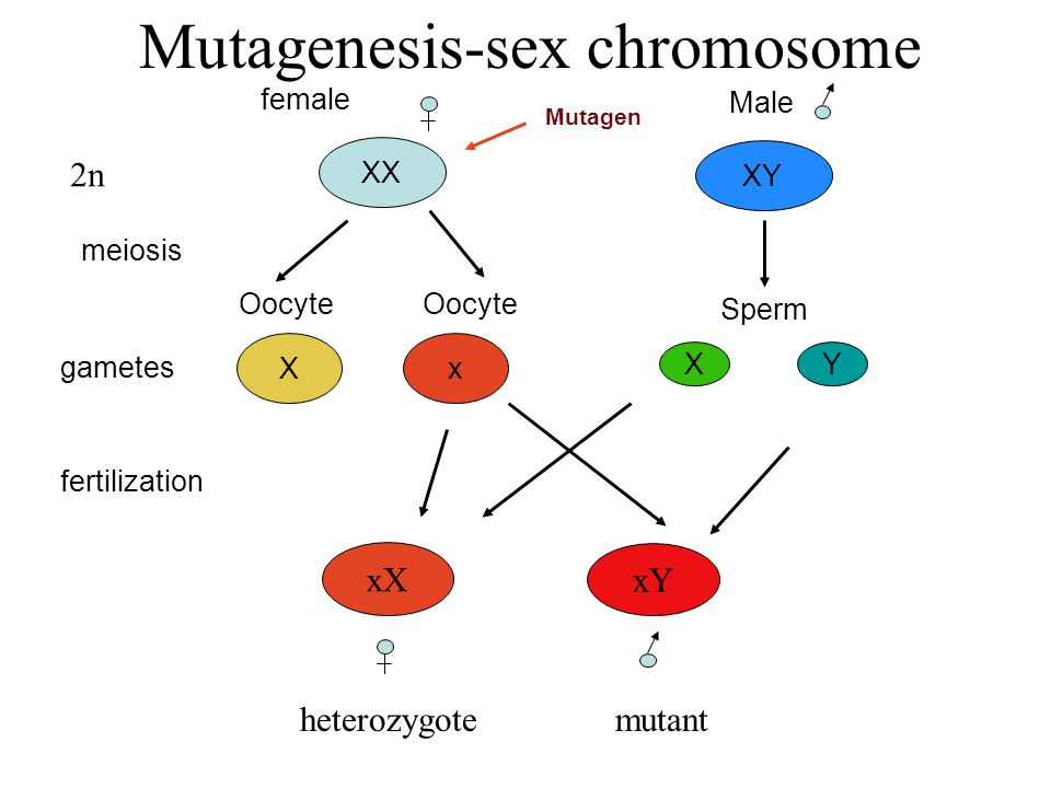 Mutagenesis-sex chromosome Oocyte Sperm gametes x YX XX XY meiosis female Male fertilization Oocyte X 2n Mutagen xX xY heterozygotemutant