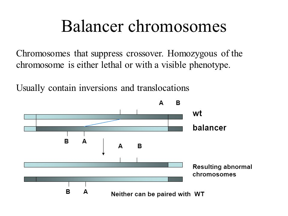 Balancer chromosomes Chromosomes that suppress crossover.