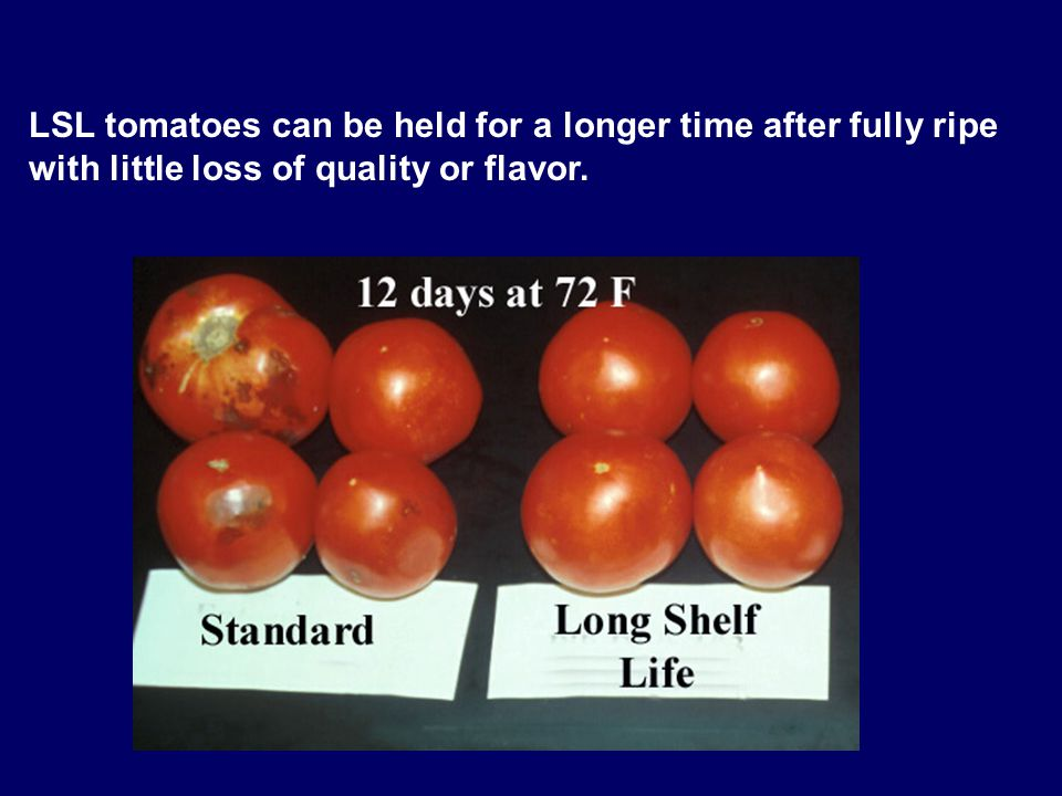 LSL tomatoes can be held for a longer time after fully ripe with little loss of quality or flavor.