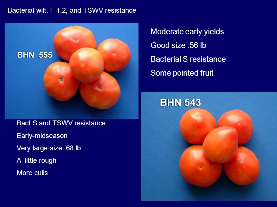 Bact S and TSWV resistance Early-midseason Very large size.68 lb A little rough More culls Bacterial wilt, F 1,2, and TSWV resistance Moderate early y
