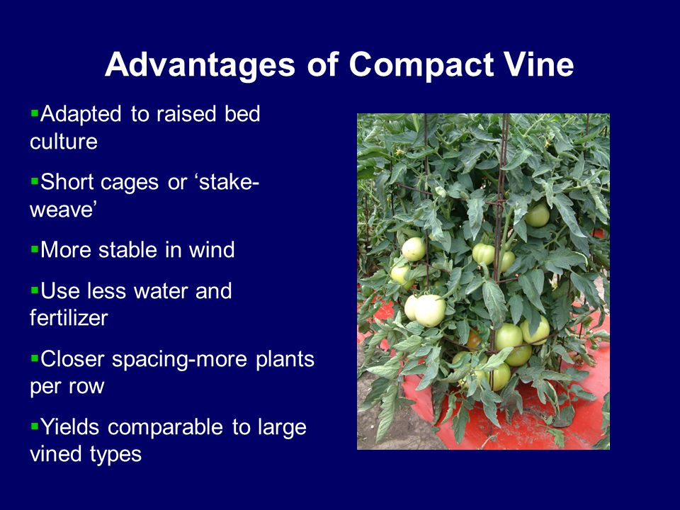Advantages of Compact Vine  Adapted to raised bed culture  Short cages or 'stake- weave'  More stable in wind  Use less water and fertilizer  Closer spacing-more plants per row  Yields comparable to large vined types