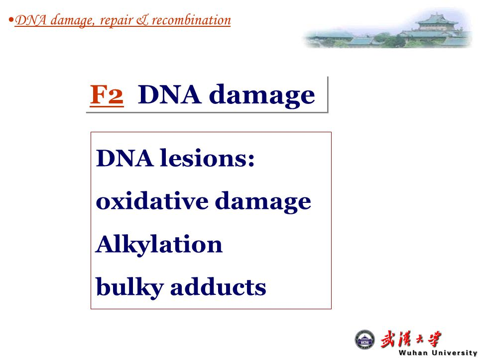 DNA damage and repair Mutagen ( 诱变剂) Completely repaired DNA damage (lesions) chemical reactivity of the bases Error-free Repairing mutations Indirect mutagenesis F DNA damage, repair and recombination minor or moderate Extensive, right before R eplication F ork (not repairable) Direct mutagenesis