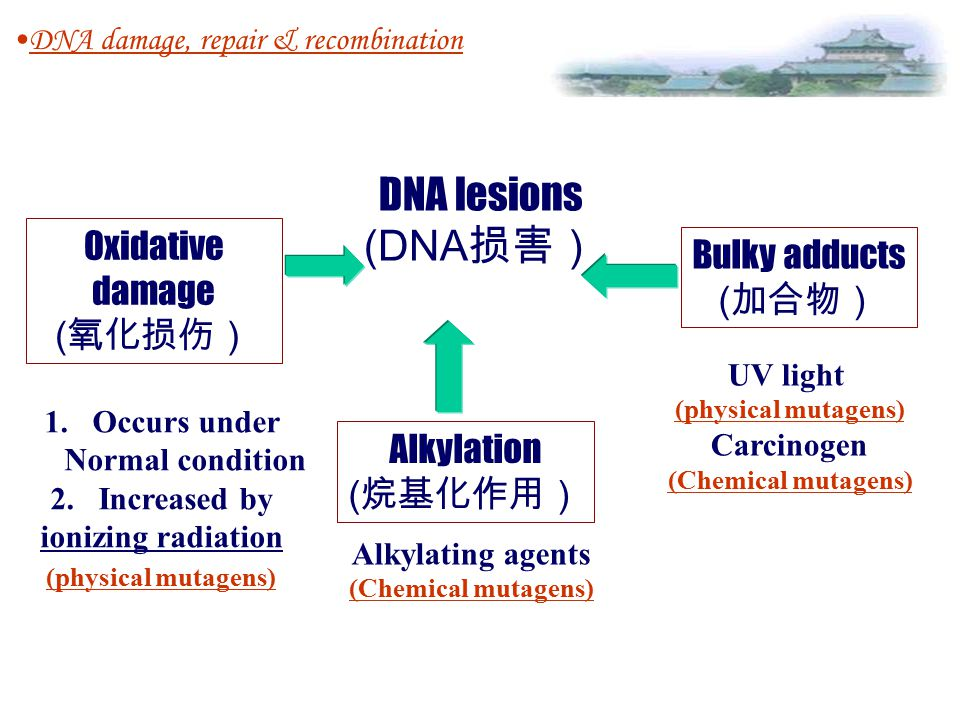 DNA damage, repair & recombination F2F2DNA damage F2F2DNA damage DNA lesions: oxidative damage Alkylation bulky adducts