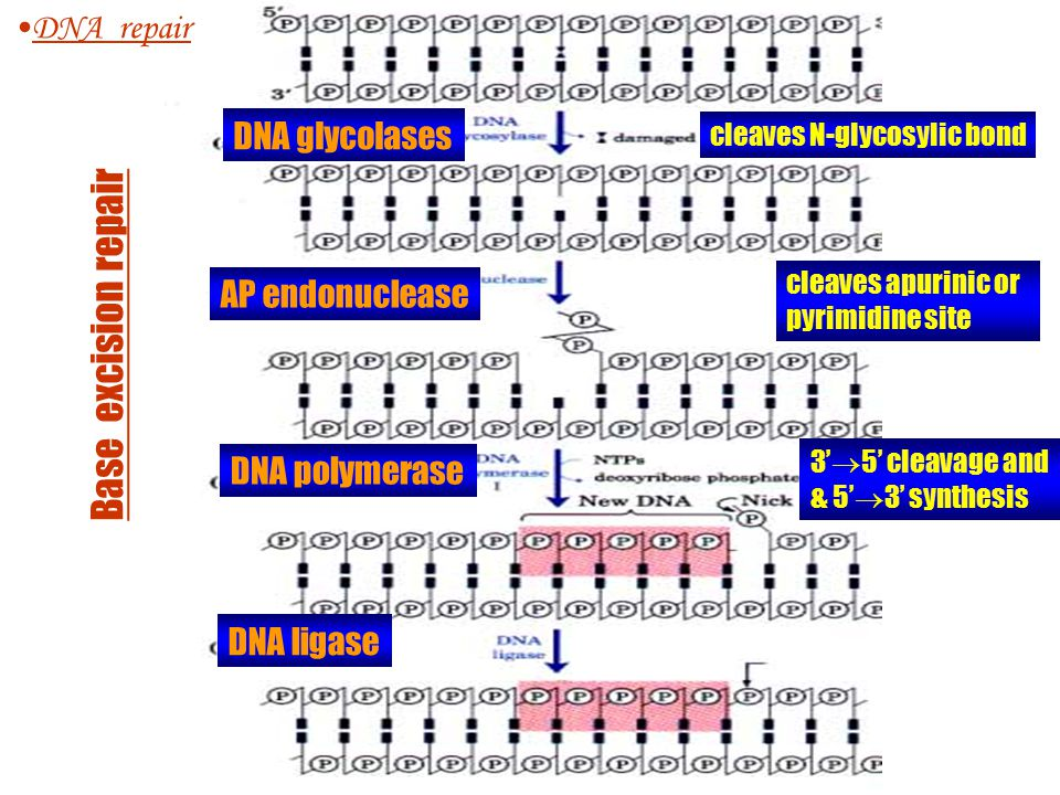 Nucleotide excision repair DNA repair 1.An endonuclease cleaves DNA a precise number of bases on both sides of the lesions (UvrABC endonulcease removes pyrimidine dimers) 2.Excised lesion-DNA fragment is removed 3.The gap is filled by DNA polymerase I and sealed by ligase