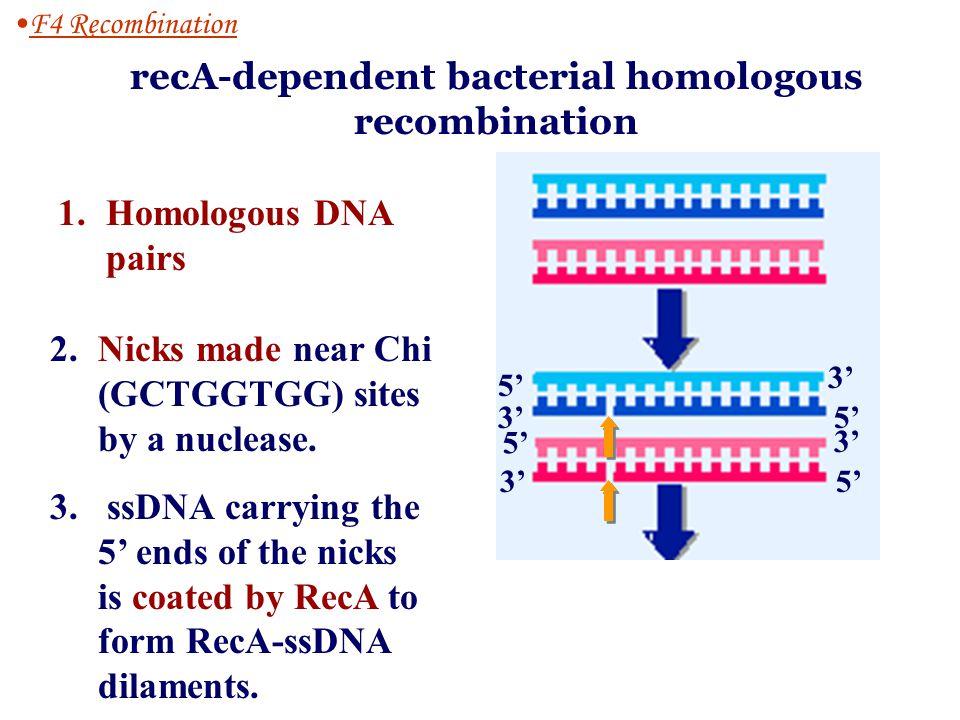 Haploid prokaryotesHaploid prokaryotes recombination Between the two homologous DNA duplex (where) 1.
