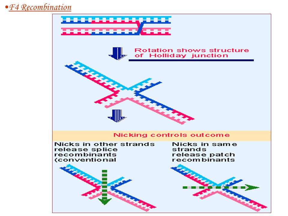 6.Resolving Holliday junctionesolving Holliday junction F4 Recombination