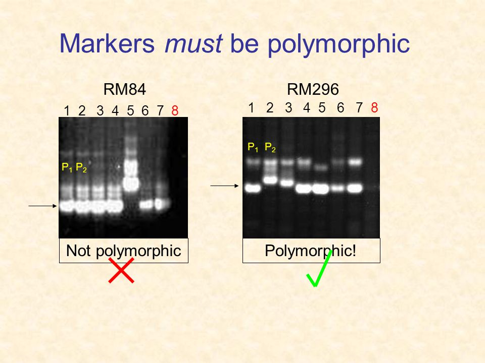 Markers must be polymorphic 1 2 3 4 5 6 7 8 RM84RM296 P 1 P 2 Not polymorphicPolymorphic!