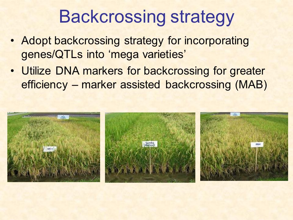 Backcrossing strategy Adopt backcrossing strategy for incorporating genes/QTLs into 'mega varieties' Utilize DNA markers for backcrossing for greater efficiency – marker assisted backcrossing (MAB)