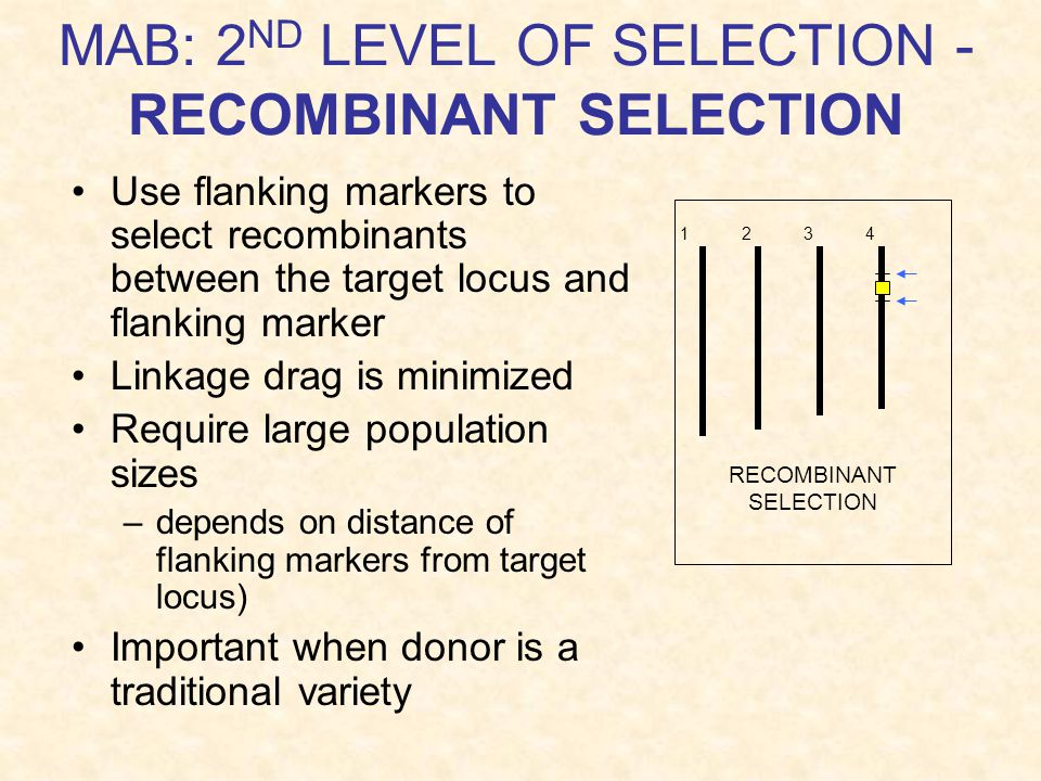 MAB: 2 ND LEVEL OF SELECTION - RECOMBINANT SELECTION Use flanking markers to select recombinants between the target locus and flanking marker Linkage drag is minimized Require large population sizes –depends on distance of flanking markers from target locus) Important when donor is a traditional variety RECOMBINANT SELECTION 1 2 3 4